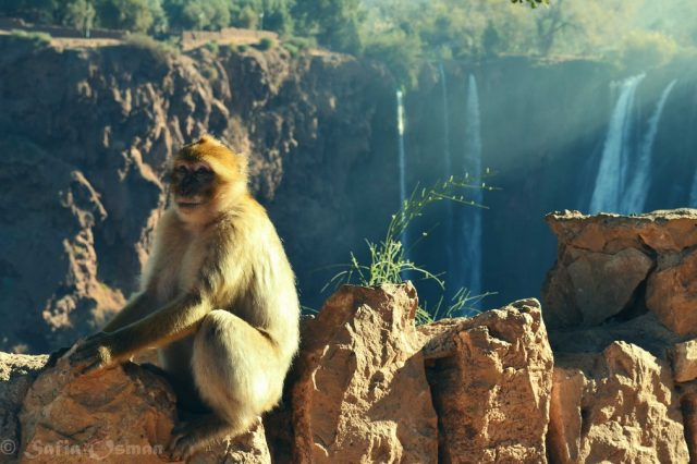 Majmuni u Ouzoud vodopadima Maroko